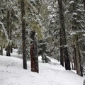 The backcountry trail is narrow, dense singletrack.- White Pass Nordic Center