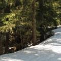 Big fir trees lining the roadside.- Amabilis Mountain