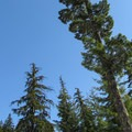 Looking up at the tree tops.- Amabilis Mountain