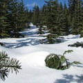 New-growth Pacific silver fir (abies amabilis) on the upper slopes.- Amabilis Mountain