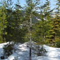 Views of Mount Catherine (5,052') beyond some young Pacific silver firs (Abies amabilis).- Mount Margaret