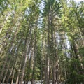 Subalpine fir (Abies lasiocarpa) dominate the forest along the way.- Roaring Ridge