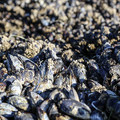 California mussels (Mytilus californianus) in the tidepools at Sooes Beach.- Sooes Beach
