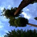 Towering trees on the Hatchery Creek Trail.- Hatchery Creek