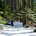 Expect white and green on the East Fork of the Foss River snowshoe trail.- East Fork of the Foss River