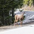 Black-tailed deer (Odocoileus hemionus) are common at Hurricane Ridge.- Hurricane Ridge