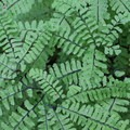 Maidenhair fern (Adiantum).- Enchanted Valley