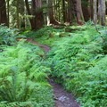 Pacific Northwest understory.- Enchanted Valley