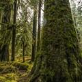 Western hemlock (Tsuga heterophylla) on the Enchanted Valley Trail.- Enchanted Valley Trail to Pony Bridge