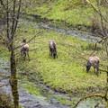 Roosevelt elk (Cervus canadensis) near trailhead on the Enchanted Valley Trail.- Enchanted Valley Trail to Pony Bridge