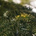 Subalpine fir (Abies lasiocarpa).- Mount Catherine