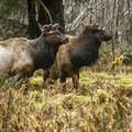 Roosevelt elk (Cervus canadensis roosevelti) near the Hall of Moss Trailhead.- Hoh Rain Forest's Hall of Moss Trail