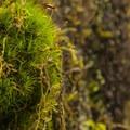 Broom moss (Dicranum scoparium) on the Hall of Moss Trail.- Hoh Rain Forest's Hall of Moss Trail