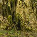 Bigleaf maple (Acer macrophyllum) covered in mosses on the Hall of Moss Trail.- Hoh Rain Forest's Hall of Moss Trail