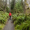 Trail lined with sword ferns (Nephrolepis exaltata) along the Sitka Nature Trail.- Hoh Rain Forest's Sitka Nature Trail