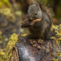 Douglas squirrel (Tamiasciurus douglasii) on the Sitka Nature Trail.- Hoh Rain Forest's Sitka Nature Trail