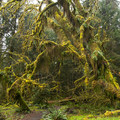 Bigleaf maple (Acer macrophyllum) covered in mosses on the Sitka Nature Trail.- Hoh Rain Forest's Sitka Nature Trail