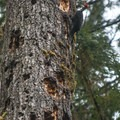 Pileated woodpecker (Dryocopus pileatus) on the Sitka Nature Trail.- Hoh Rain Forest's Sitka Nature Trail