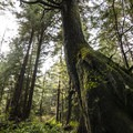 Western hemlock (Tsuga heterophylla) on the trail to La Push, Second Beach.- La Push, Second Beach