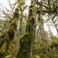Bigleaf maple (Acer macrophyllum) covered in mosses on Sams River Loop Trail.- Sams River Loop Trail