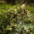 Lungwort (Lobaria pulmonaria), a type of lichen, on Sams River Loop Trail.- Sams River Loop Trail