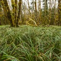 Bear grass (Xerophyllum tenax) and red alder (Alnus rubra) on Sams River Loop Trail.- Sams River Loop Trail