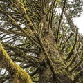 Sitka spruce (Picea sitchensis) on Sams River Loop Trail.- Sams River Loop Trail