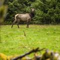 Roosevelt elk (Cervus canadensis roosevelti) near the ranger station on Sams River Loop Trail.- Sams River Loop Trail