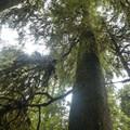 Old-growth western hemlock (Tsuga heterophyllaand) on the Sams River Loop Trail.- Sams River Loop Trail