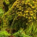 Sword fern (Polystichum munitum) and stairstep moss (Hylocomium splendens) on the Sams River Loop Trail.- Sams River Loop Trail