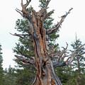 Bristlecone pine (Pinus longaeva).- Bristlecone Pine Trail
