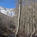 Quaking aspens (Populus tremuloides) along the approach trail.- Morrison Col