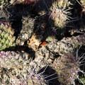 Prickly pear (Opuntia) cacti.- Morrison Col