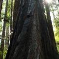 Redwood grove at Big Basin State Park.- Big Basin Redwoods State Park