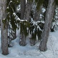 A stand of old-growth cedar on the Daisy ski run.- Cowboy Mountain