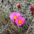 Hedgehog cactus (Pediocactus simpsonii).- Painted Hills Unit