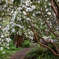 The famous Rhododendron Garden is best viewed in early spring.- Hendricks Park
