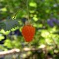 Salmonberry (Rubus spectabilis).- Kentucky Falls Hike