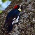 Acorn woodpecker (Melanerpes formicivorus) in Pinnacles National Park.- Moses Springs Trail