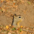 Ground squirrel in Pinnacles National Park.- Moses Springs Trail
