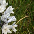 Howell's brodiaea along the trail in the spring.- Mosier Creek Falls + Plateau Trail