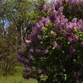 Lilacs near the cemetery in spring.- Mosier Creek Falls + Plateau Trail