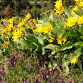Balsamroot and vetch are common in spring.- Mosier Creek Falls + Plateau Trail