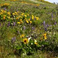 Lupine and balsamroot are abundant in the spring.- Mosier Creek Falls + Plateau Trail