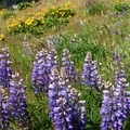 Lupine is common in spring.- Mosier Creek Falls + Plateau Trail