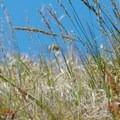 Spring grasses on the Novato Hill Climb.- Novato Hill Climb