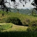 Vineyards surrounding the park.- Westwood Hills Park