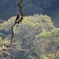 Pileated woodpecker (Dryocopus pileatus).- Westwood Hills Park