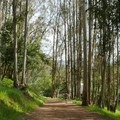 The trail ends in a corridor of eucalyptus.- Westwood Hills Park
