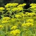 Mustard plant.- Westwood Hills Park